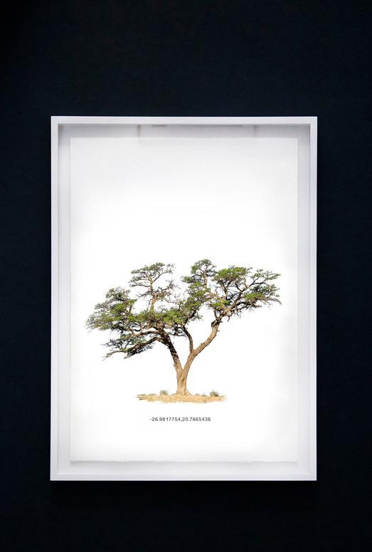 Kameeldoringboom 5