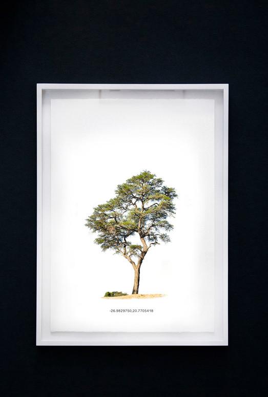 Kameeldoringboom 4