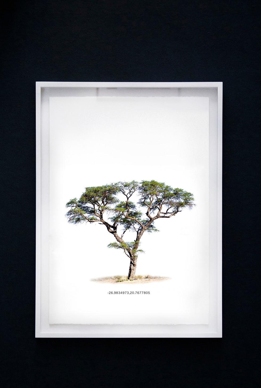 Kameeldoringboom 2