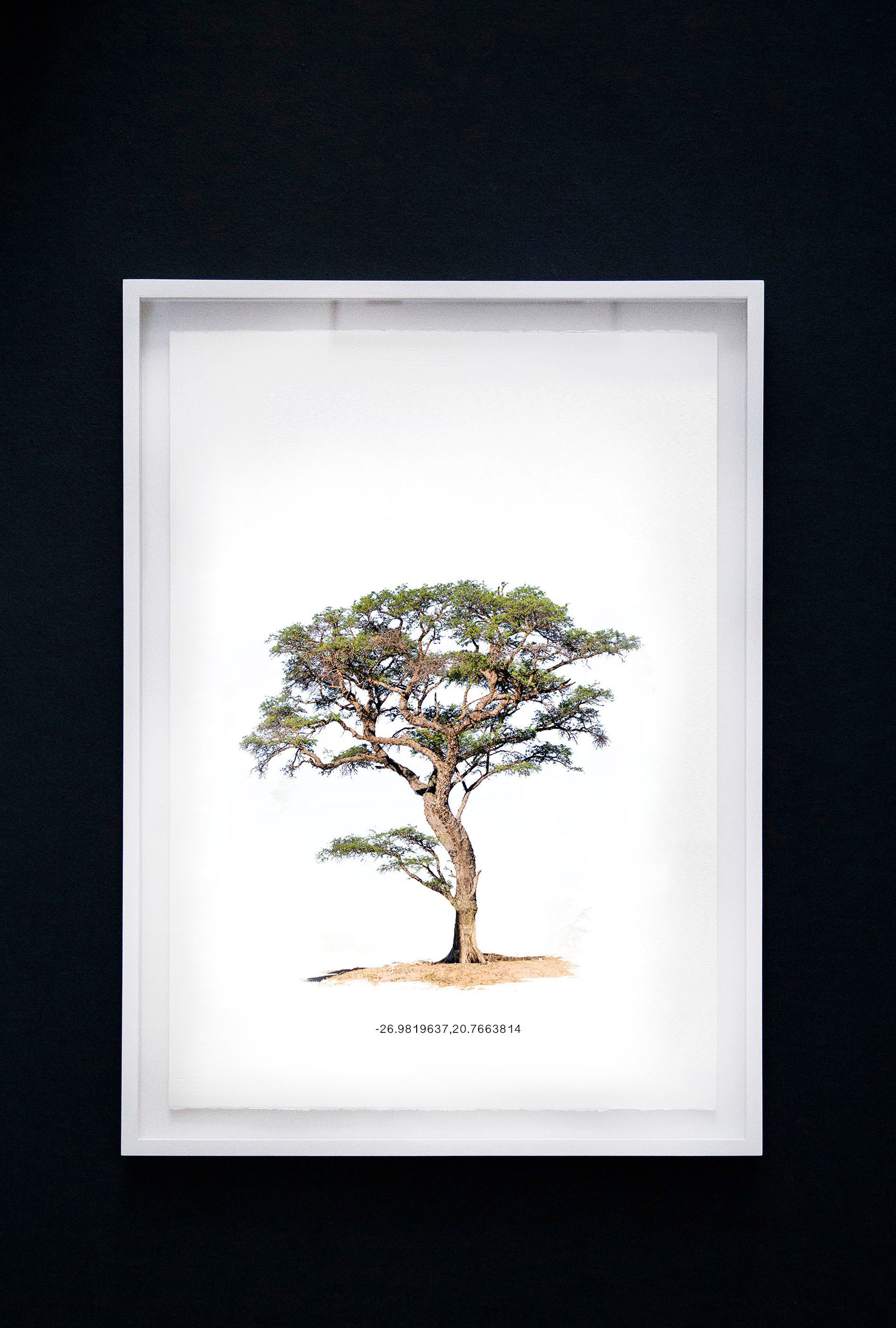 Kameeldoringboom 6