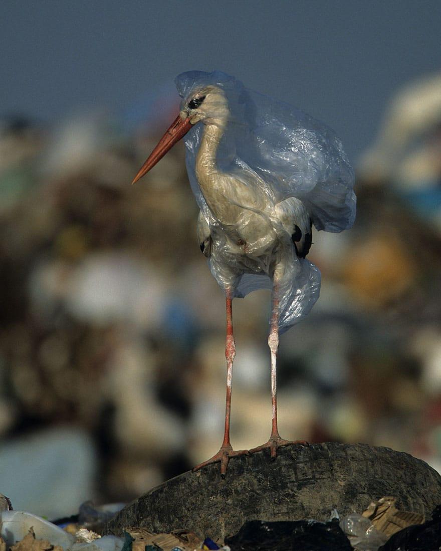 Cegonha envolta por uma sacola plástica