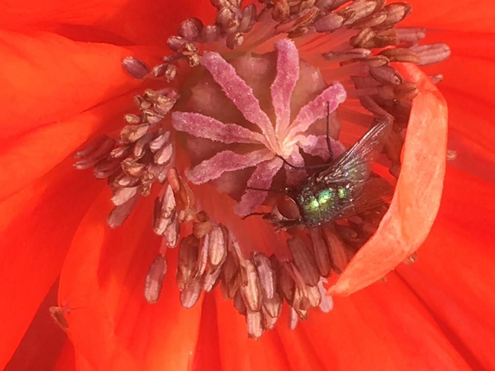 Fly on a Poppy