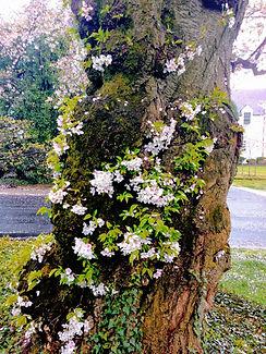 CherryBlossomKenwood