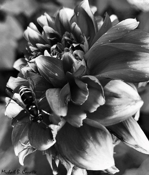 Dahlia l'abeille