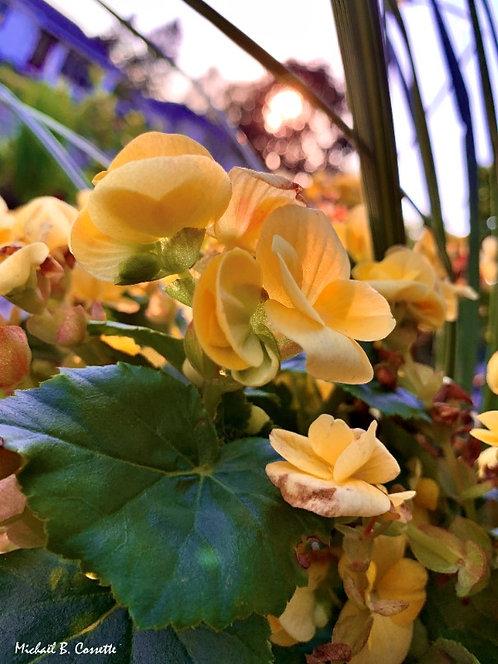 Begonia reformis