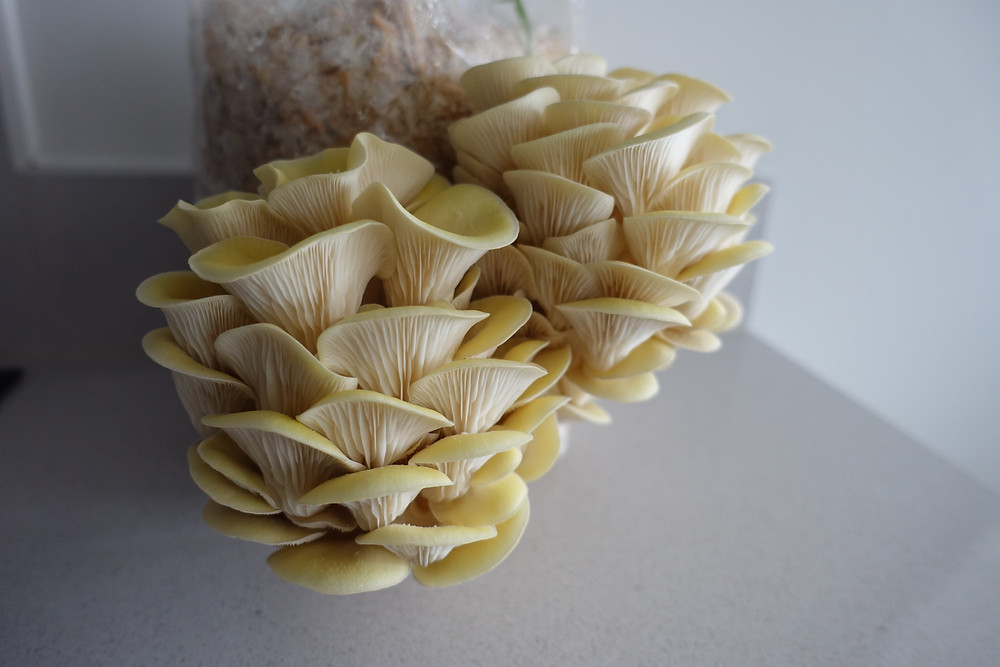 Oyster mushrooms growing on kitchen counter