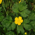 Creeping Buttercup Benefits, Uses, and folklore