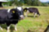 久保アグリファームの牛