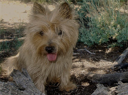 Tired Cairn Terrier