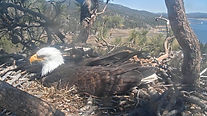 bold eagle webcam.JPG