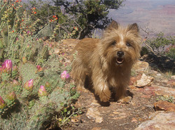Cairn Terrier on her Grand Canyon Visit