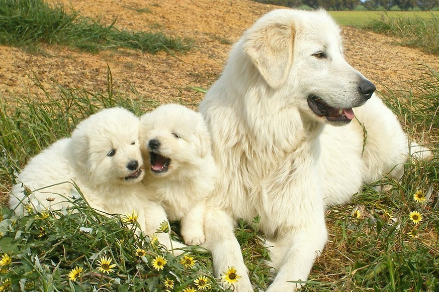 img-maremma-dog-family.jpg