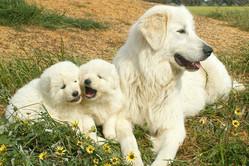 dogs-maremma-family.jpg