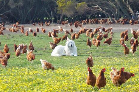 dogs-maremma-guarding-hens.jpg