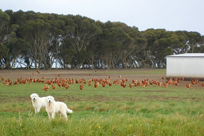 img-farm-with-maremmas-and-chooks.jpg