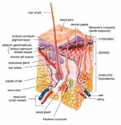 SY - Sebaceous gland.png