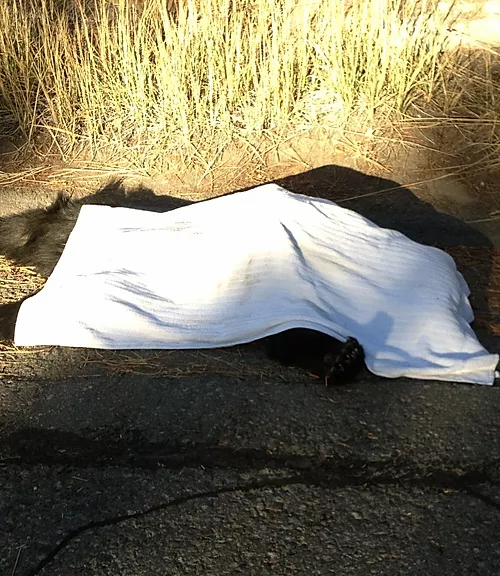 Dead Bear on HWY 28  (just let 205 garbage).