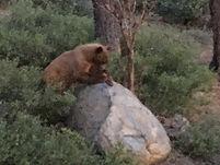 Medium Bear at Viewing Rock - 5 5 2020 (
