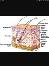 SY - Sebaceous gland.jpg