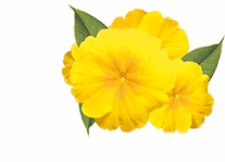 Brochure HI primrose-banner-1 clip art.p