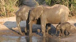 SY mud-bath-chobe-national-park.jpg