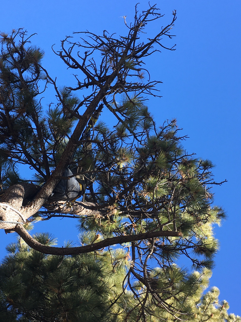 Tino - trimming trees - 2 8 20 - for new
