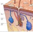 SY - Sudoriferous glands - mayo clinic.j