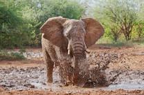 SY - Mud Splash African-Elephant.jpg
