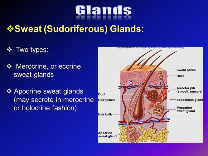 SY - Sudoriferous glands.jpg