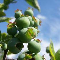 upripe berries.jpg