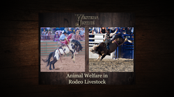 Animal Welfare In Rodeo Stock Graphic Fo