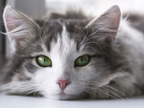 Grooming Tips for Your Long-Haired Cat