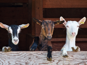 Farm Animals: Do They Make Good Pets, Too?