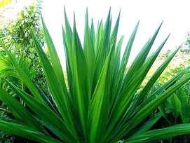 spiky-plants-image-gallery-spiky-plants-