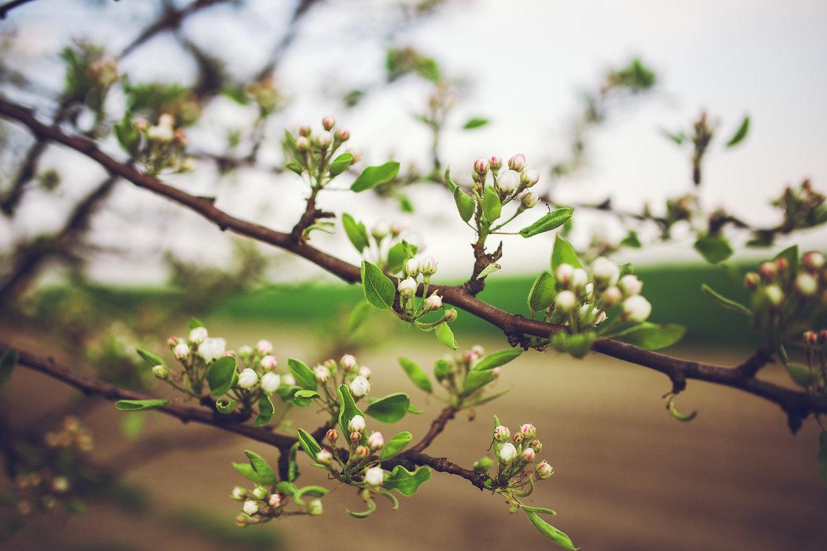 apple-tree-nature-branch-blossom-plant-f