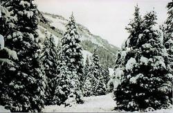 Snow on trees Flattops - mine