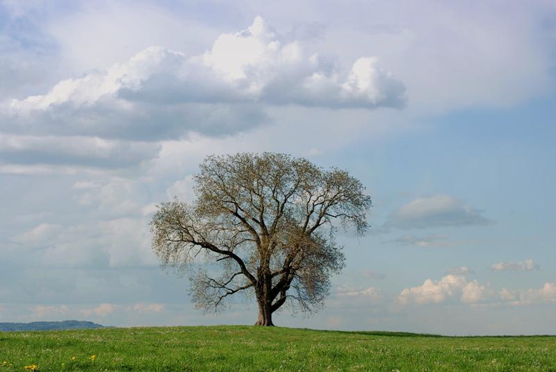 Baum, Wollerau SZ