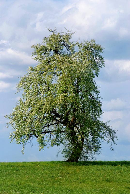 Baum Wollerau SZ