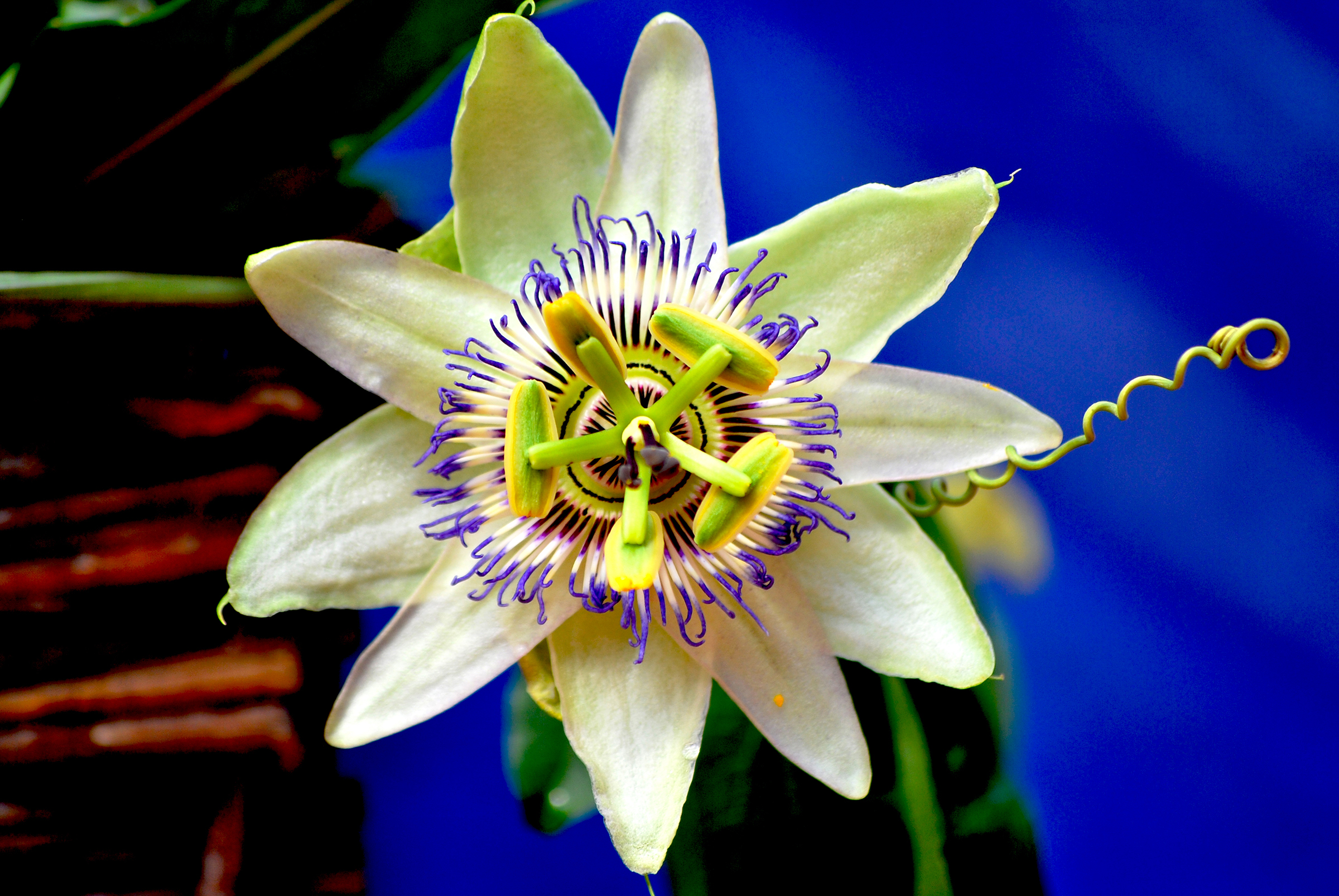Passions- Blume
