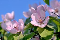Apfelbluten