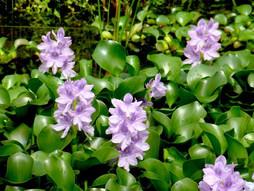 La jacinthe d'eau ou comment transformer un nuisible en ressource pour l'environnement !