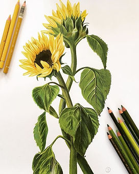 Sunflowers (Helianthus) finished! Will n