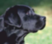 Black Labrador - Pet Feeds & Supplements
