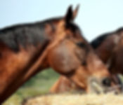 Horses Feeding - Equine Feeds & Supplements