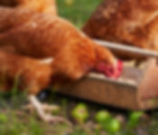 Chickens Feeding - Agricultural Feeds