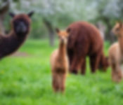 Alpaca & Llama Feeds & Supplements