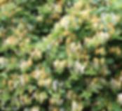 Japanese-honeysuckle-768x701.png
