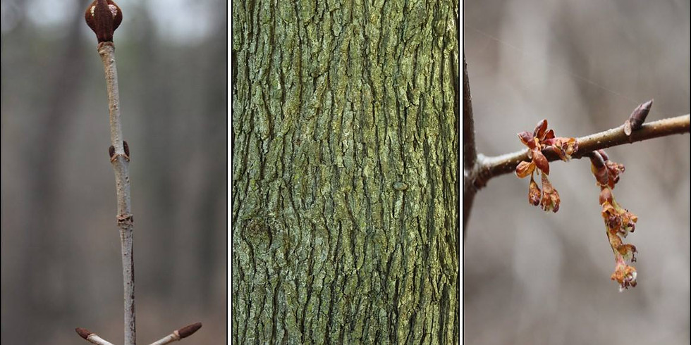 CANCELED DUE TO WEATHER: Winter Tree Identification on Kessler Mountain