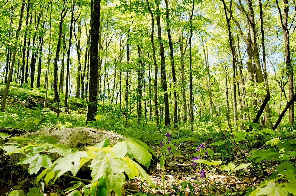 Blackburn Bluffs Hardwood Forest.jpg