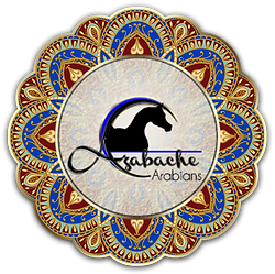 Azabache Arabians. Arabian Horse Breeders and Arabian foals for sale in Texas